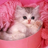 sweet fluffy kitty in the pink box