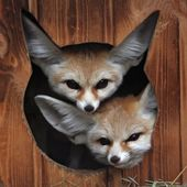 Baby Fennec Foxes