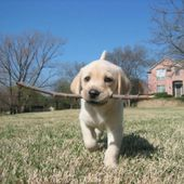 little puppy with stick