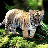 Tiger cub playing