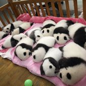 How many newborn panda babies?