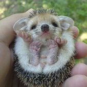 I\'m newborn baby hedgehog. Am I cute?