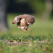 Baby owl: Learning to fly