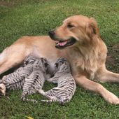 A dog adopts tiger babies