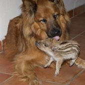 Baby Boar With Dog