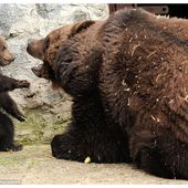 Tough love for a bear cub. Is the mom right?