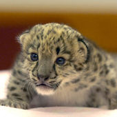 A snow leopard cub crawls on a blanket