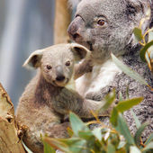 Adorable koalas