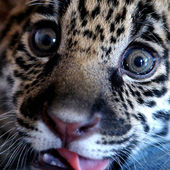 Adorable baby jaguar