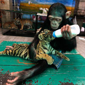 Monkey adopts a baby tiger