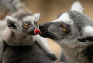 Baby Brown Lemurs