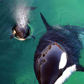 Baby orca with mom