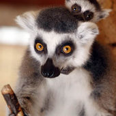 Cute baby lemur rides his mother