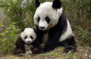 Mother panda bear and baby