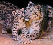 Snow Leopard Mother And Cub