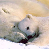 Polar beer cub and his mom