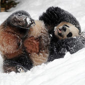Baby panda plays in snow