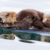 sea otter mother with pup