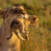 Mother lion and her cub