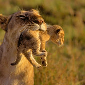 lioness with her baby