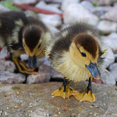 funny ducklings