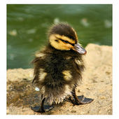 The tiny duckling