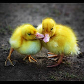 Duckling\'s first kiss! Are we lovely?