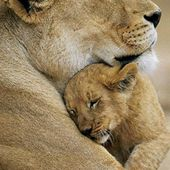 Adorable lioness and her cub