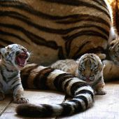 Adorable baby tigers