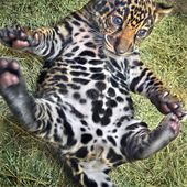 Jaguar cub. Do u see a paw on his belly?