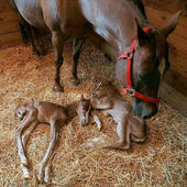 Newborn twin foals!