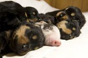 Puppies and piglet. Do u love them?