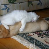 Kitten sleeps on dog! Cute?