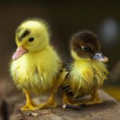 Lovely ducklings!