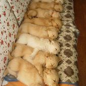 How many puppies in a row?
