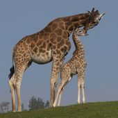 Uganda giraffe mom and baby