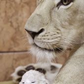 Newborn lion. Motherly love.