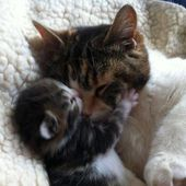 Kitten cuddles and kisses mom