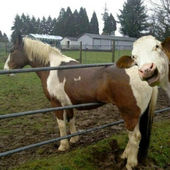 A cow photobombing a horse