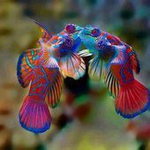 Why are mandarin fish so colorful?