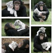 Monkey adopts two white tiger cubs