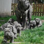 Neapolitan Mastiff with puppies