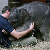 Baby elephant cuddles her keeper
