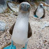 Blue-footed Booby