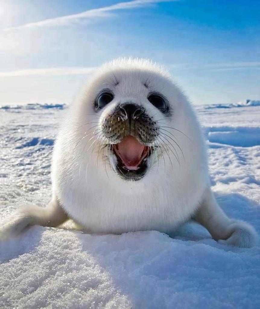 Smiling baby harp seal