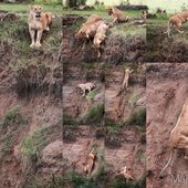 Mommy lion rescues her cub