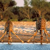 This is how Giraffes drink water