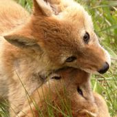 Coyote pups are frolicking joyfully