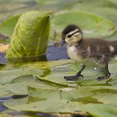 Duckling on the lily pads