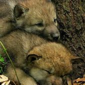 Wolf cubs, so sweet